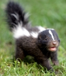 1600x1200-cute-animals-baby-skunk