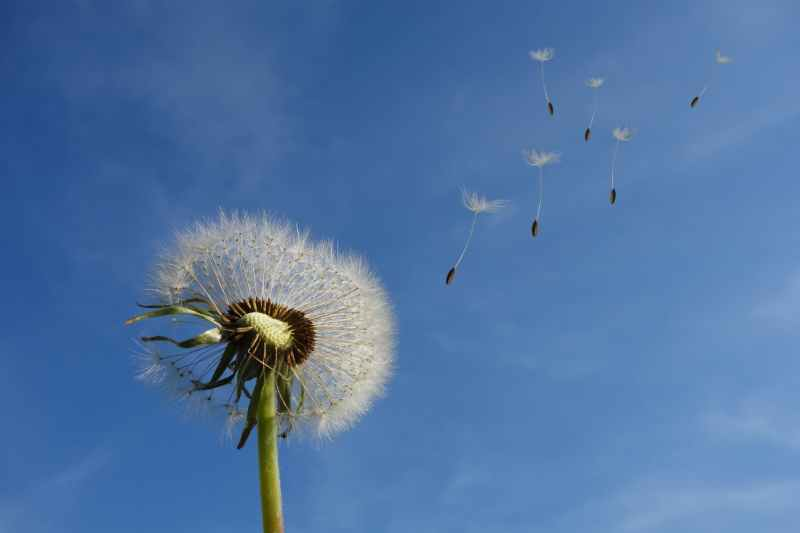 white dandelion under blue sky and white cloud